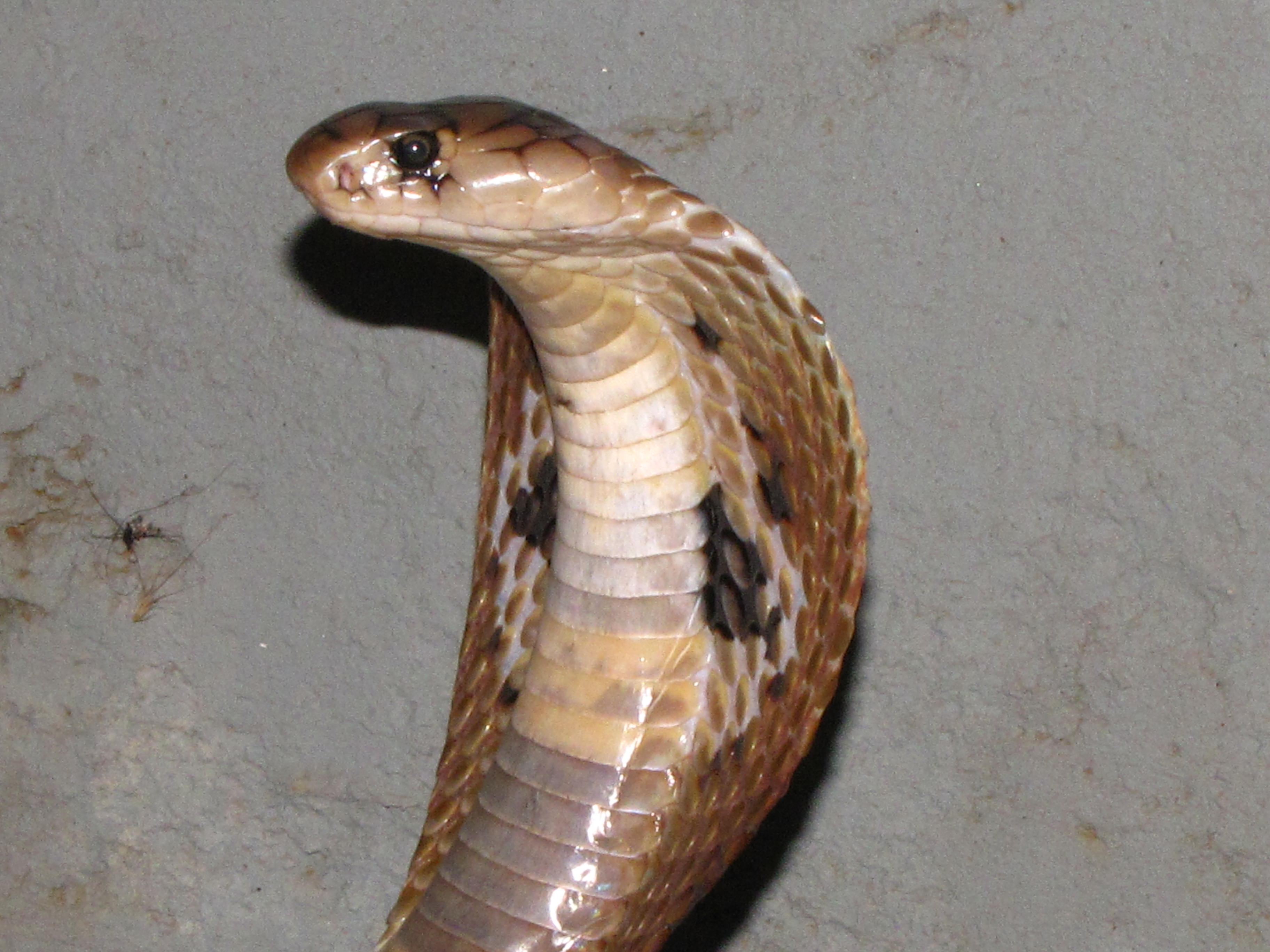 Amazing Animals Pictures: The Mystical Indian cobra or