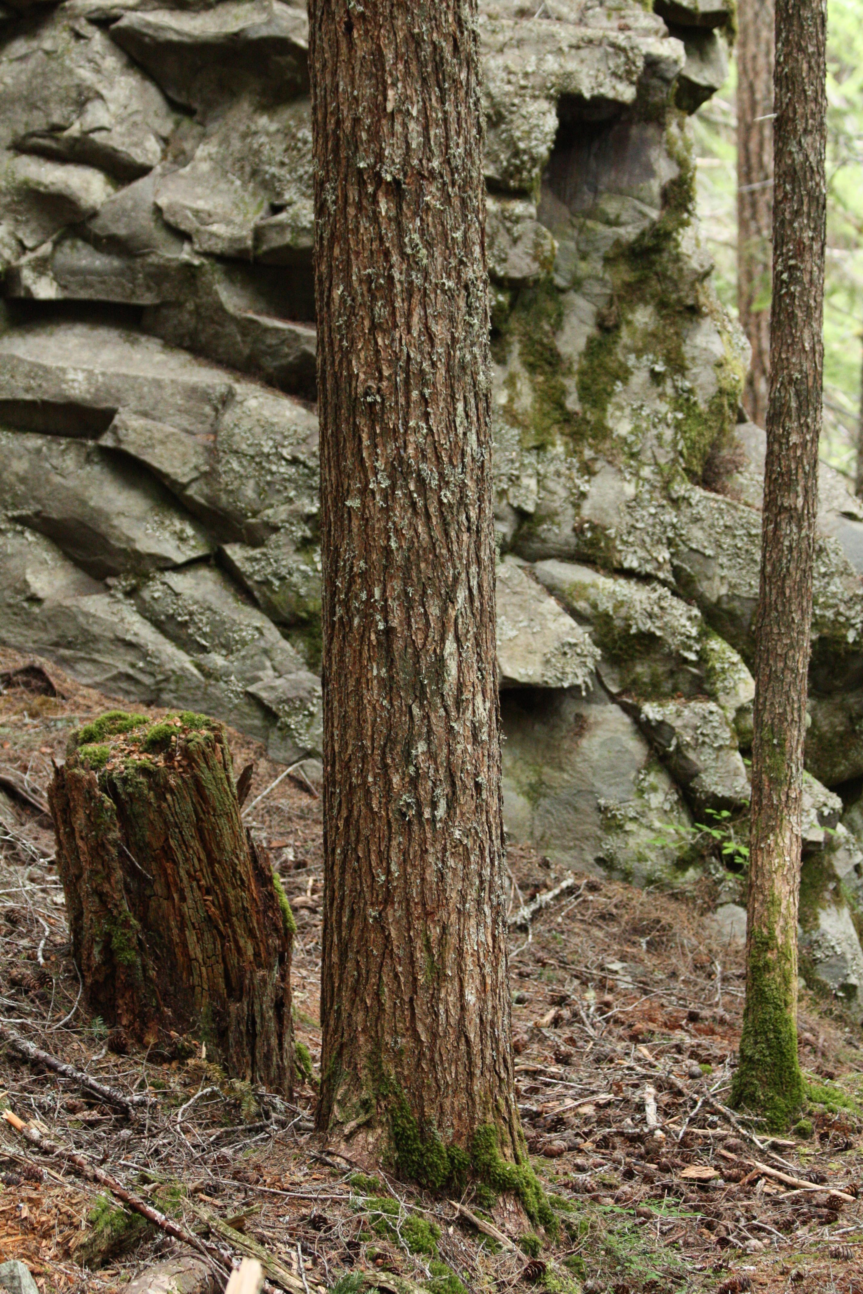 Description tsuga heterophylla 5087 jpg