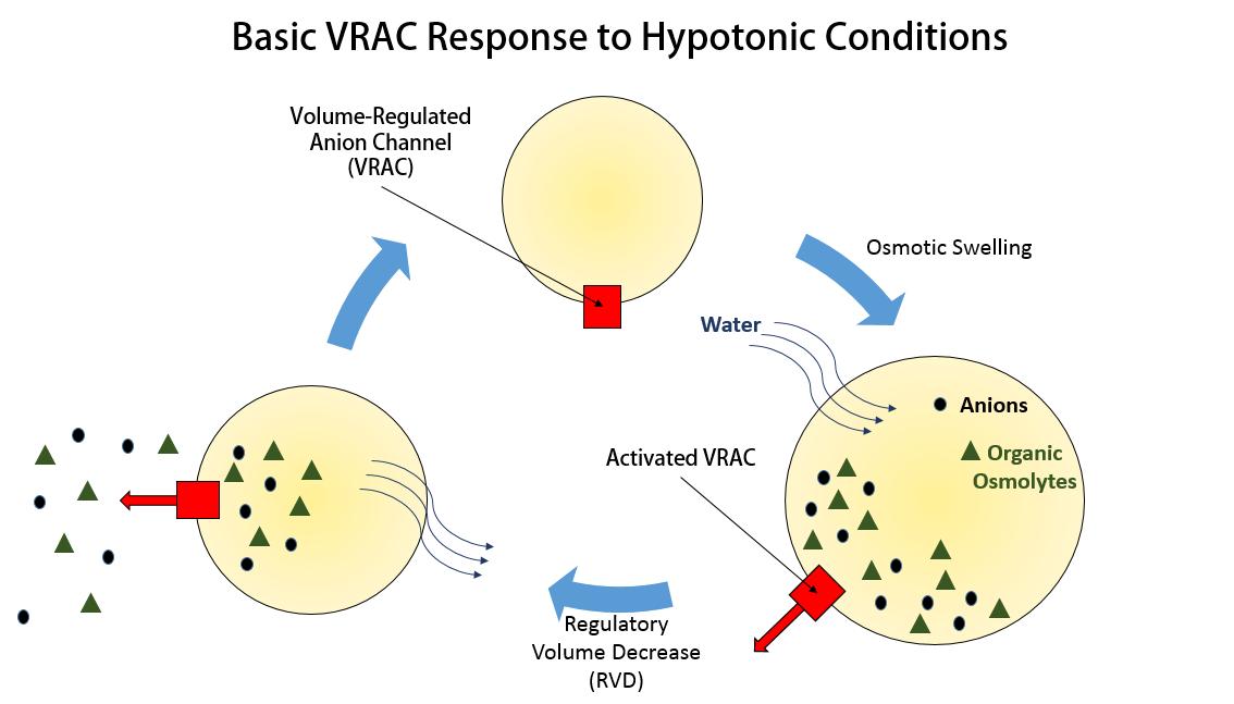 Volume-regulated anion...