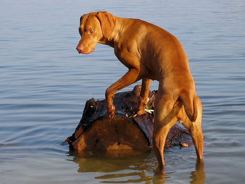 Cani Bracco Ungherese Cani Da Ferma Caccia Animali Domestici