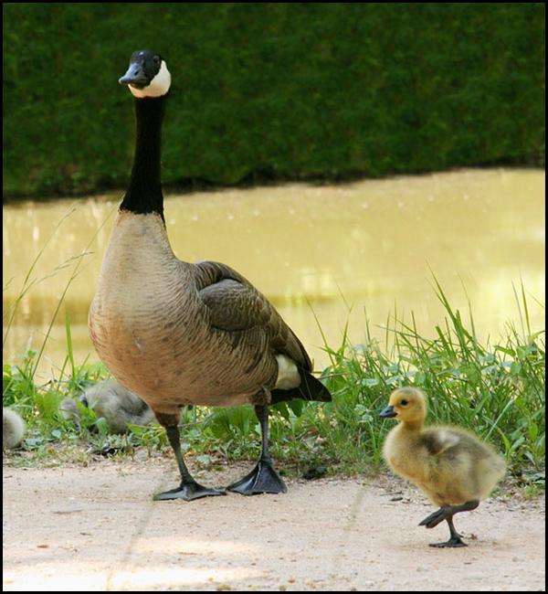 newest 09af3 f8455 File:Vogel-Branta canadensis-Canadese gans.jpg - Wikimedia ...