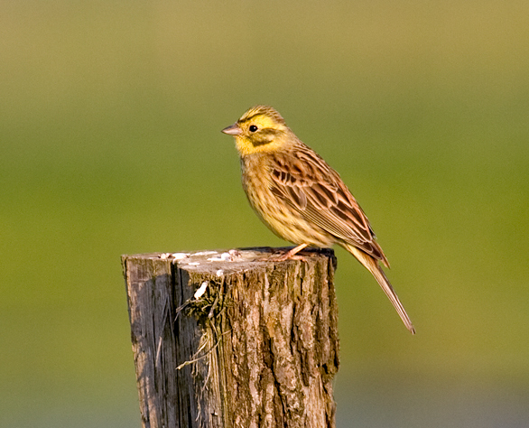 Farmland birds like the yellowhammer continue to decline in the UK