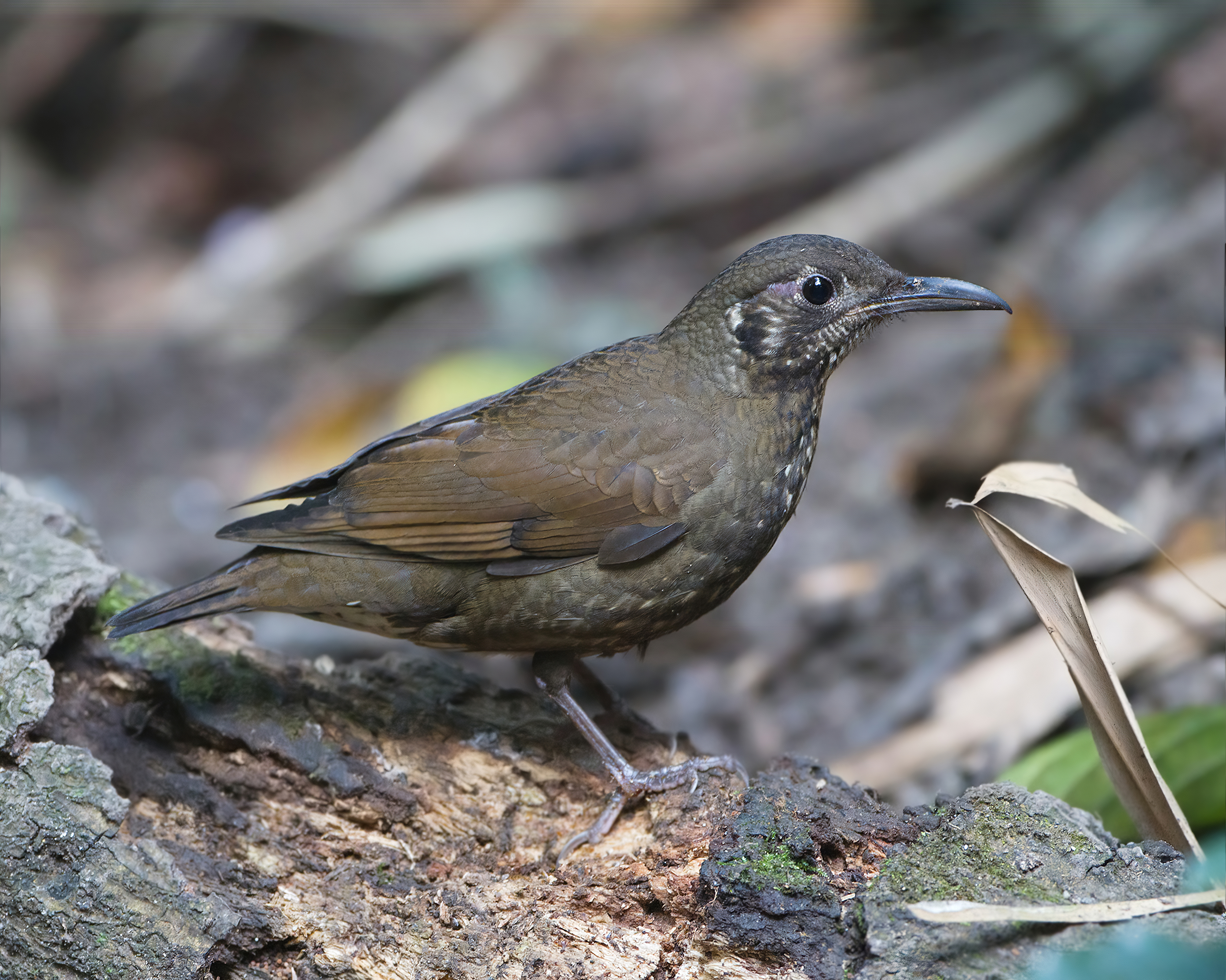 an overview of oral thrush and its different types Hermit thrush overview id info  litter or seizing insects with its bill the hermit thrush has a rich brown upper body and smudged spots on the breast, with a .