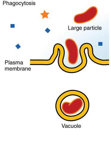 0309 Phagocytosis
