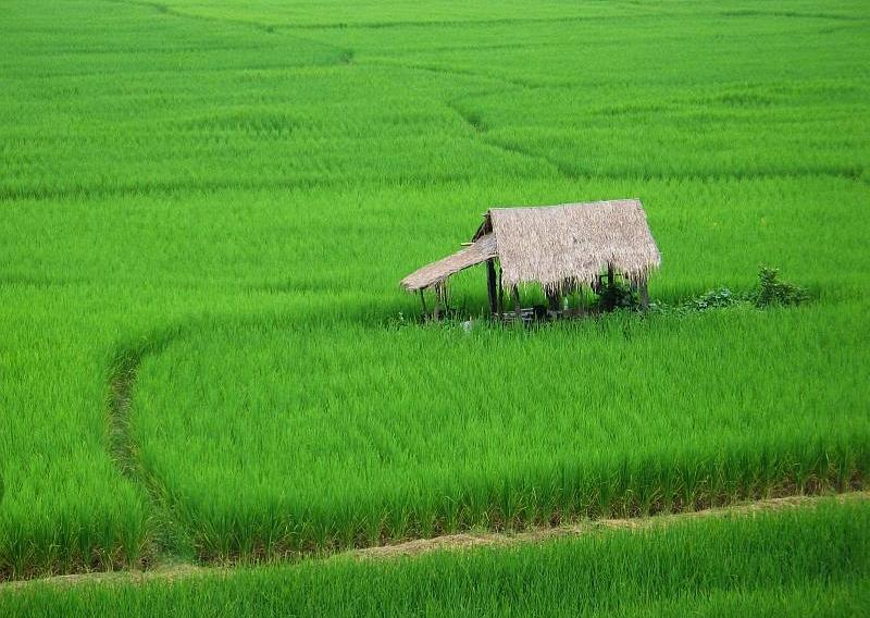 Nan Thailand  City new picture : 2006 1002 nan thailand rice