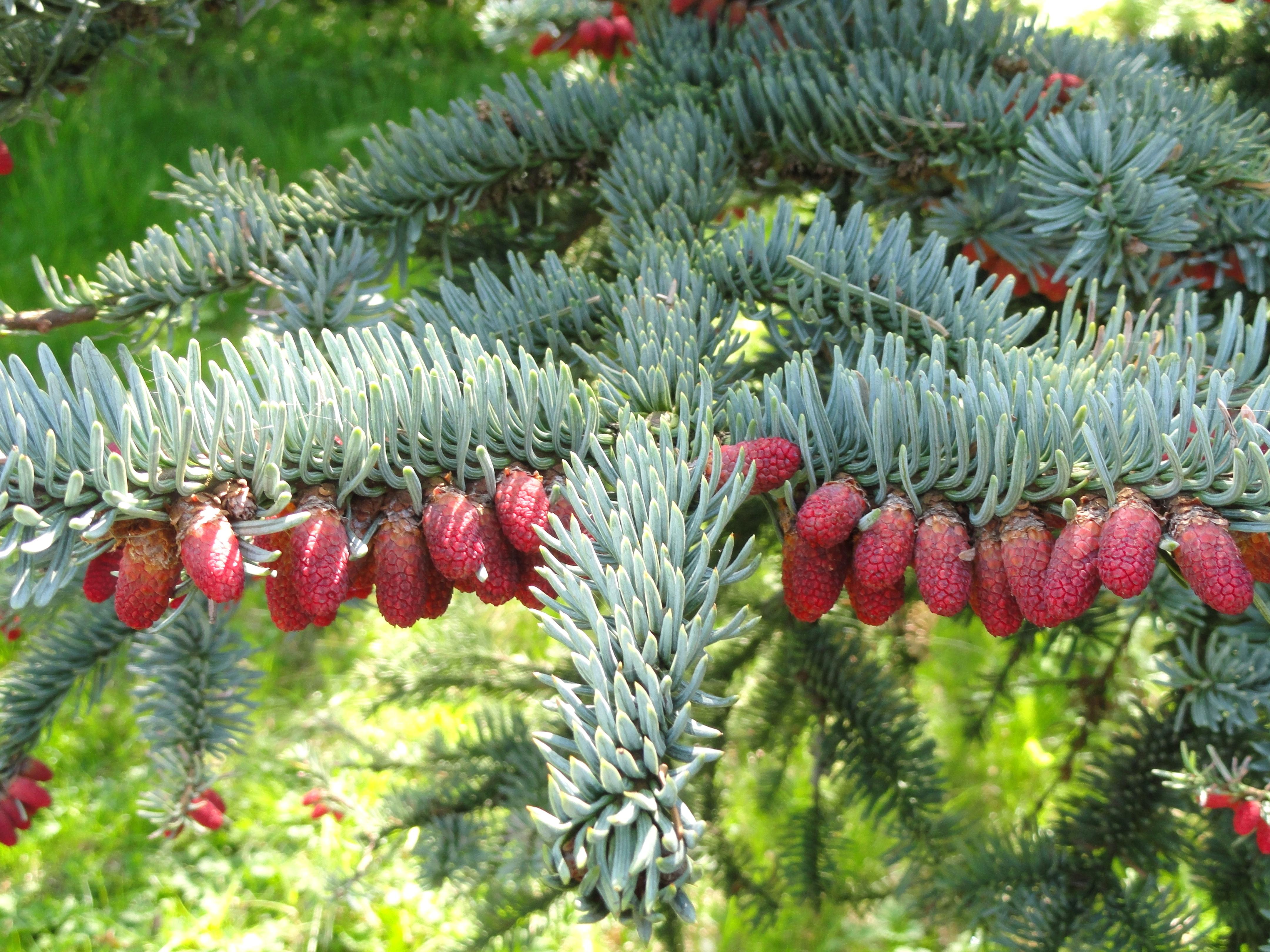 file abies procera copenhagen botanical garden. Black Bedroom Furniture Sets. Home Design Ideas