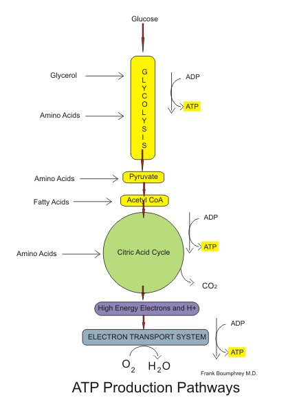 Aerobic pathways of Glucose metabolism