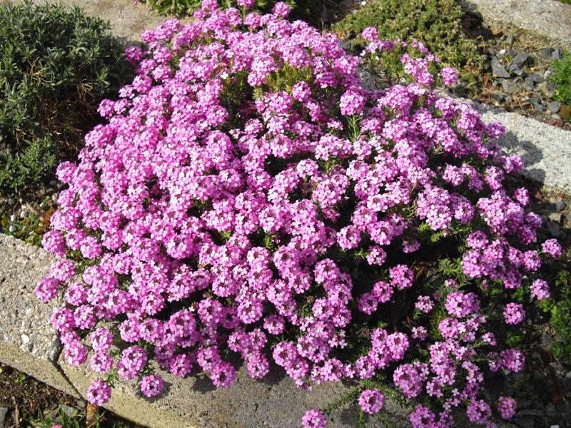 File Aethionema Armenum Warley Rose 1 Jpg Wikimedia Commons