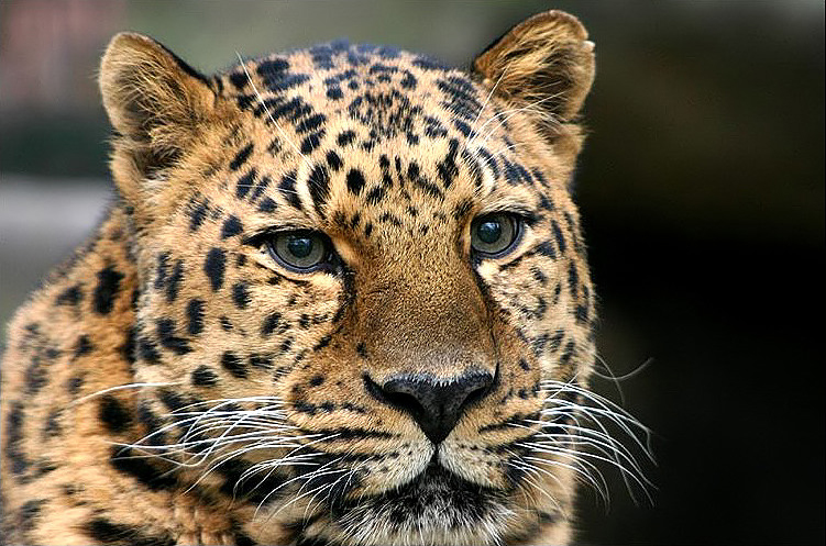 Leopard Spots Face Paint