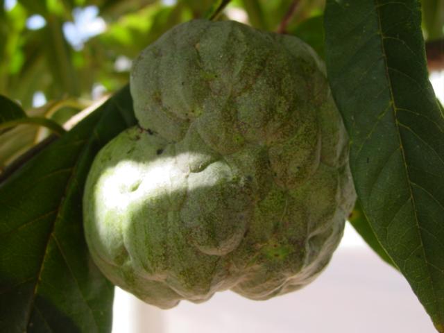 Annonaceae - Simple English Wikipedia, the free encyclopedia