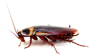 Blatella germanica (German cockroach)