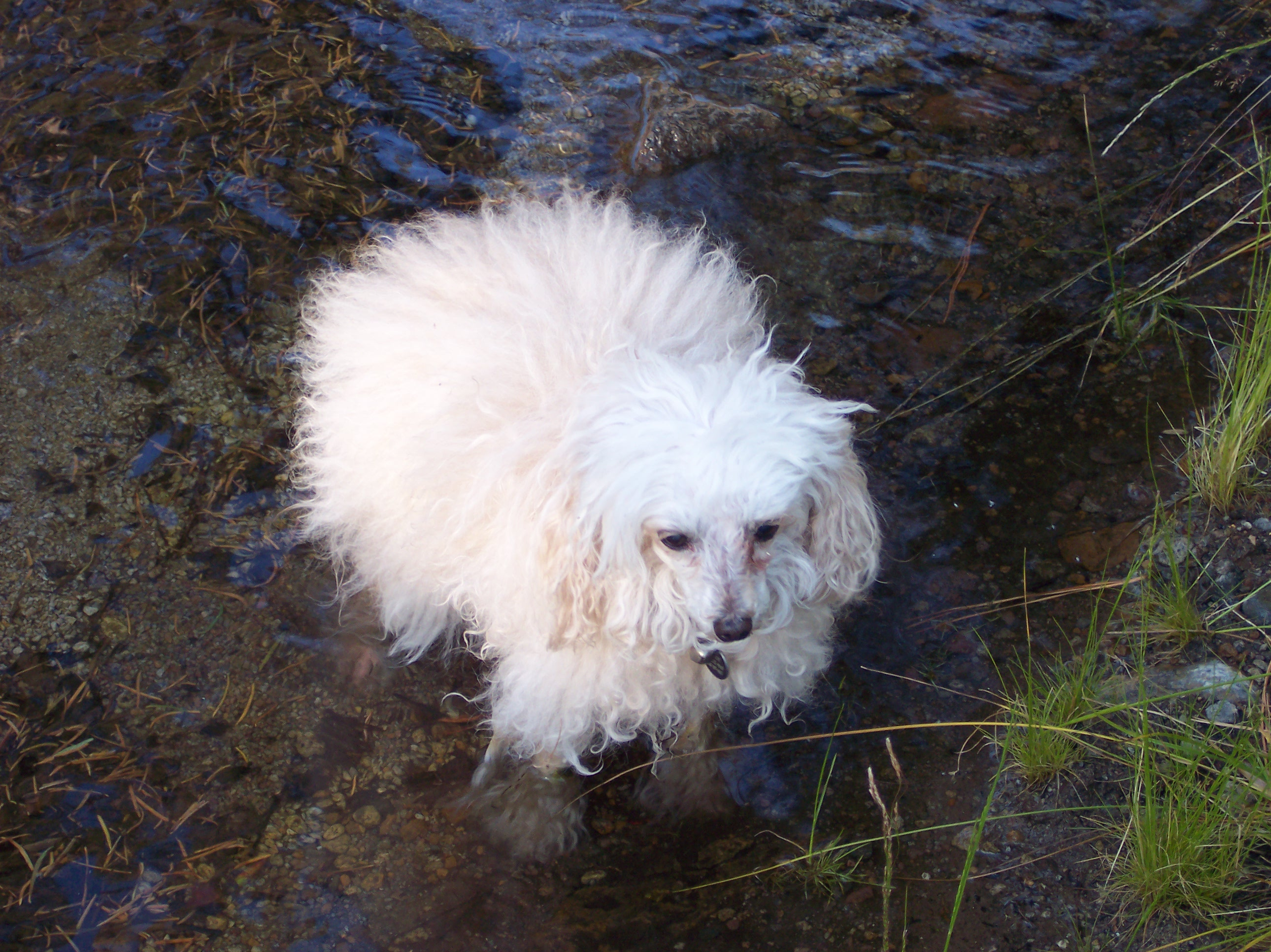 Poodle Toy Source Http Upload Wikimedia Org Wikipedia Commons 8 85 Blond Older Enjoying Water Jpg