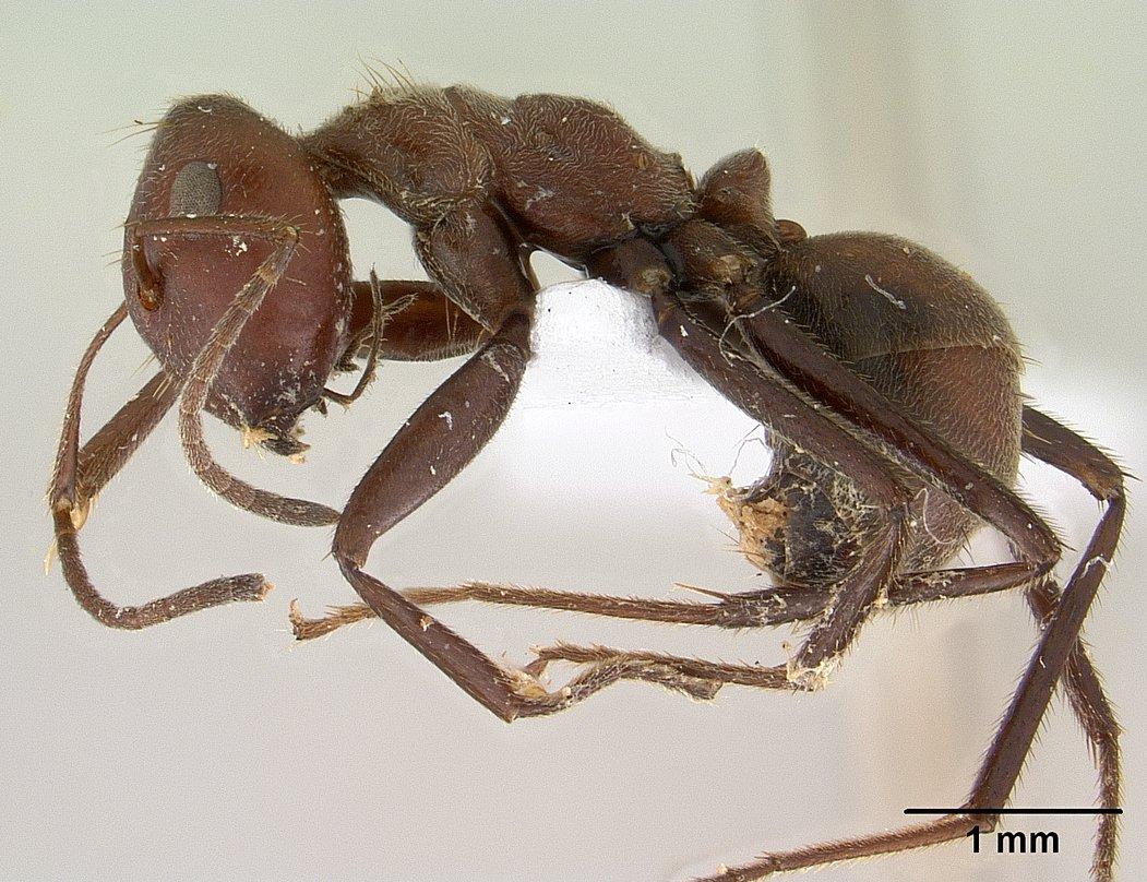 Camponotus saundersi casent0179025 profile 1.jpg