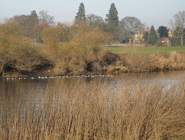 Canada geese settle on the Severn - geograph.org.uk - 1105637
