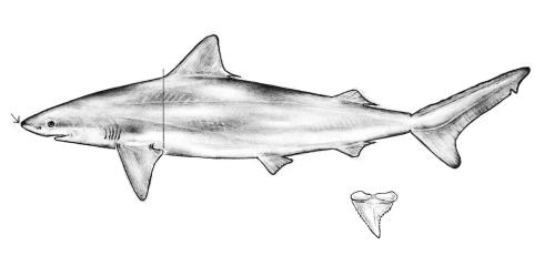 White Tip Reef Shark Drawing Drawing of a Blacknose Shark