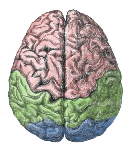 https://upload.wikimedia.org/wikipedia/commons/8/85/Cerebral_lobes.png