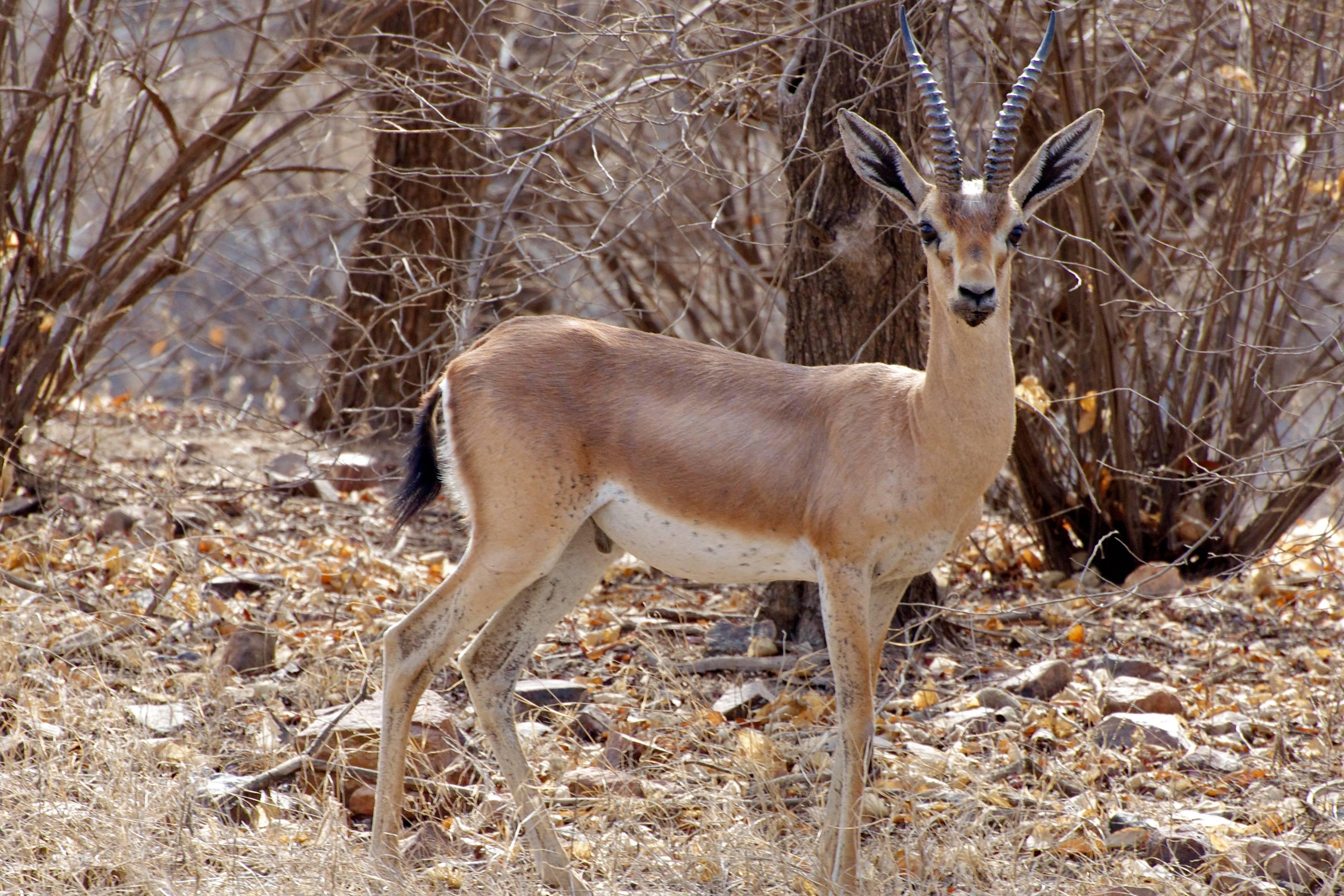 Gazella bennettii – Wikipédia, a enciclopédia livre