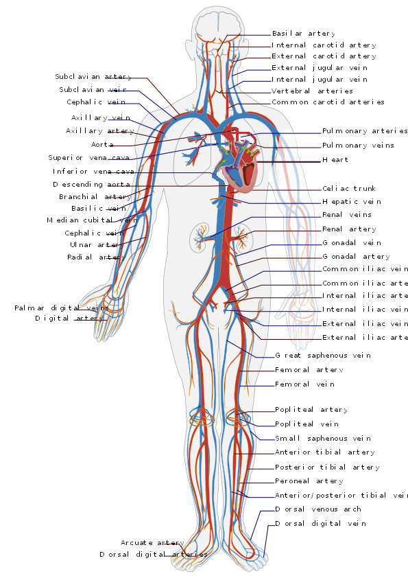 filecirculatory system en  wikimedia commons, schematic