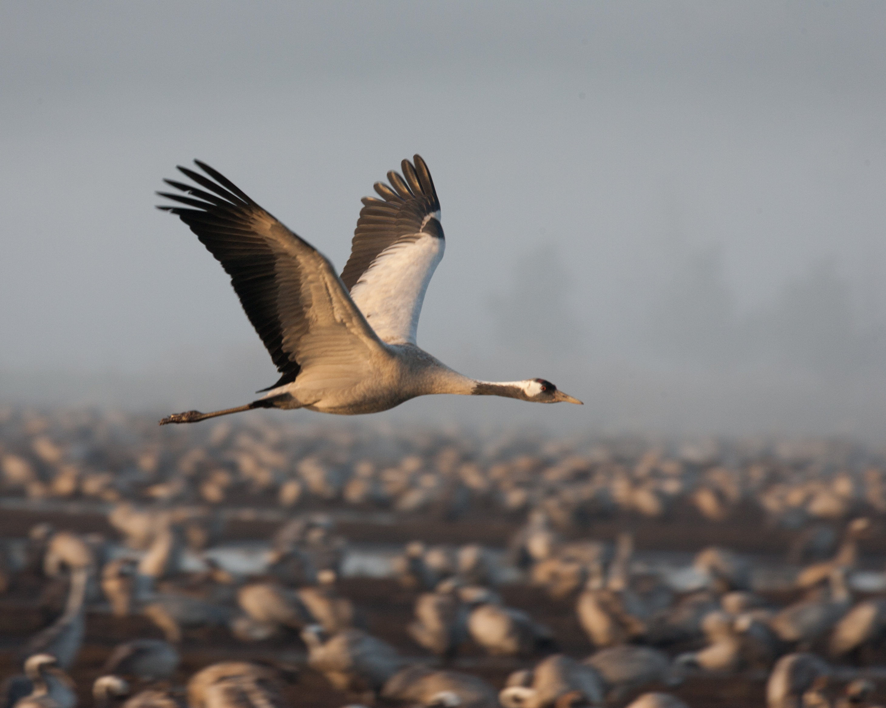 Image result for common crane in flight