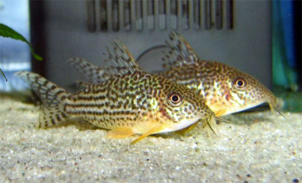 corydoras aquarium