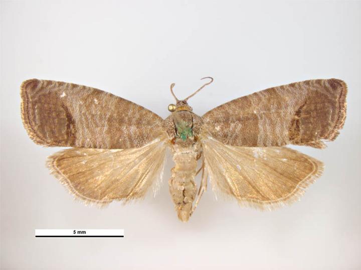 File:Cydia pomonella male dorsal.jpg