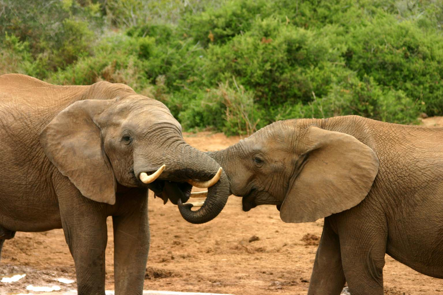 Cool African Elephants Mating Rituals picturespider com