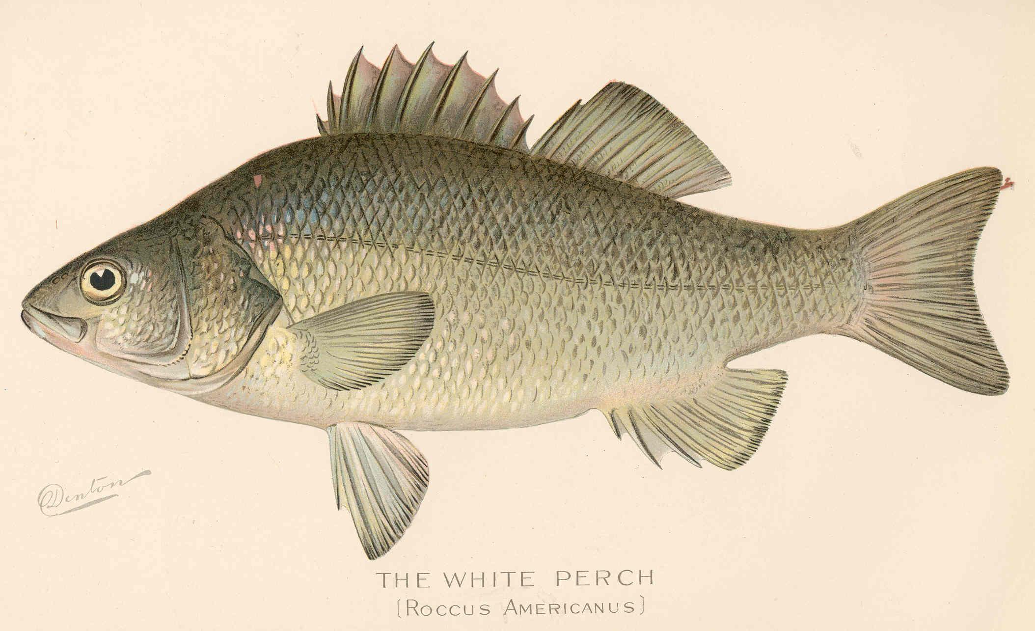 FMIB 43157 White Perch (Roccus americanus).jpeg