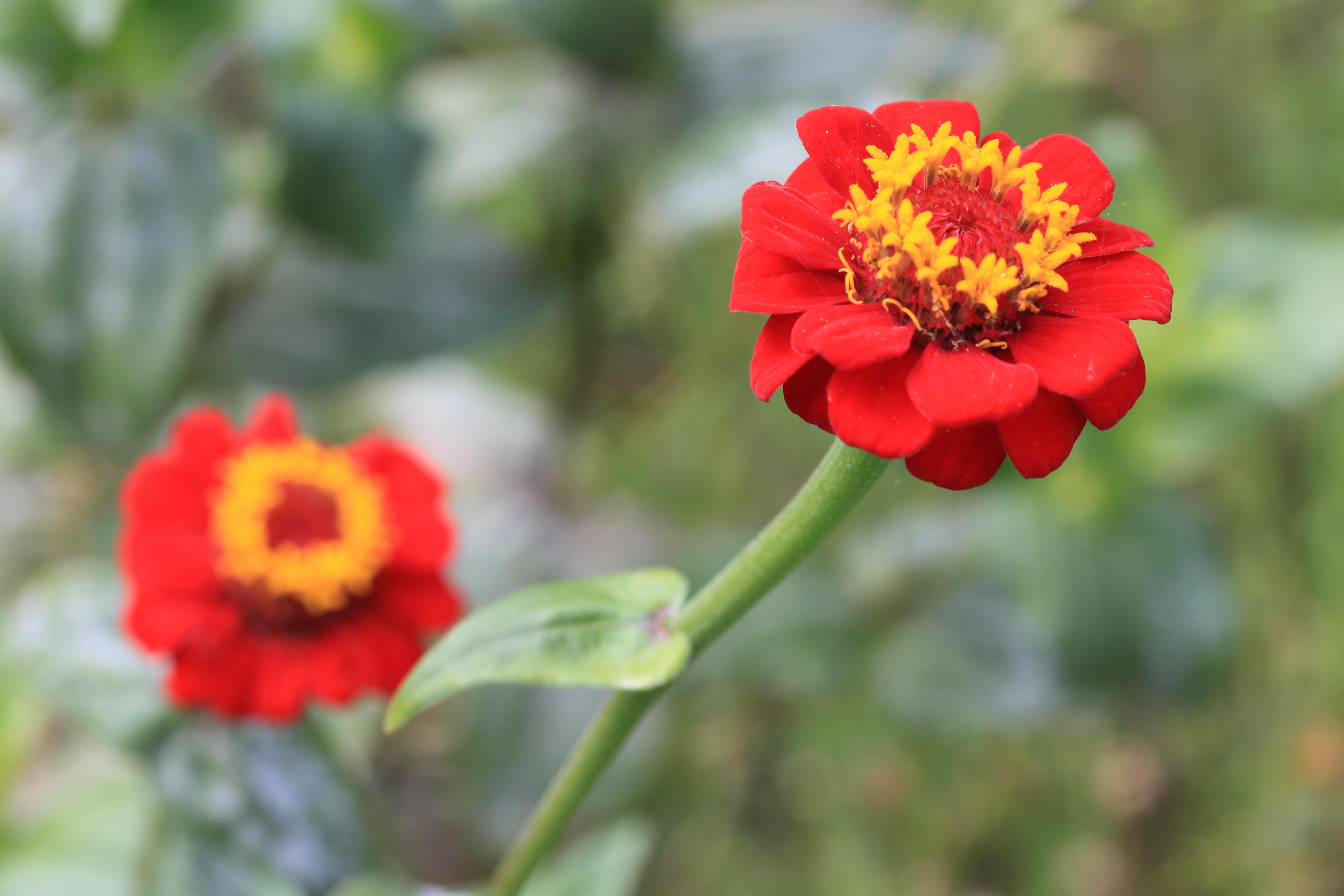 File:Fleurs rouges, Jardin Compans Caffarelli.JPG ...