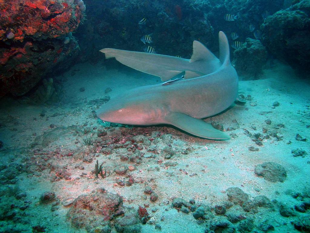 Nurse shark bikini island