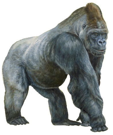 File:Gorila de llanura occidental. Gorilla gorilla - Blanca Martí de Ahumada (white background).jpg