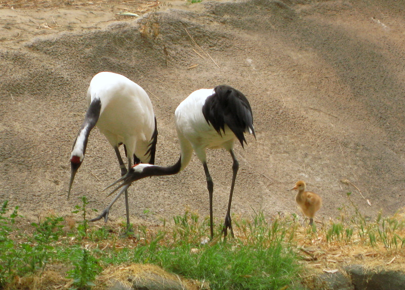 File:Grus japonensis and chick -San Diego Zoo-8a.jpg