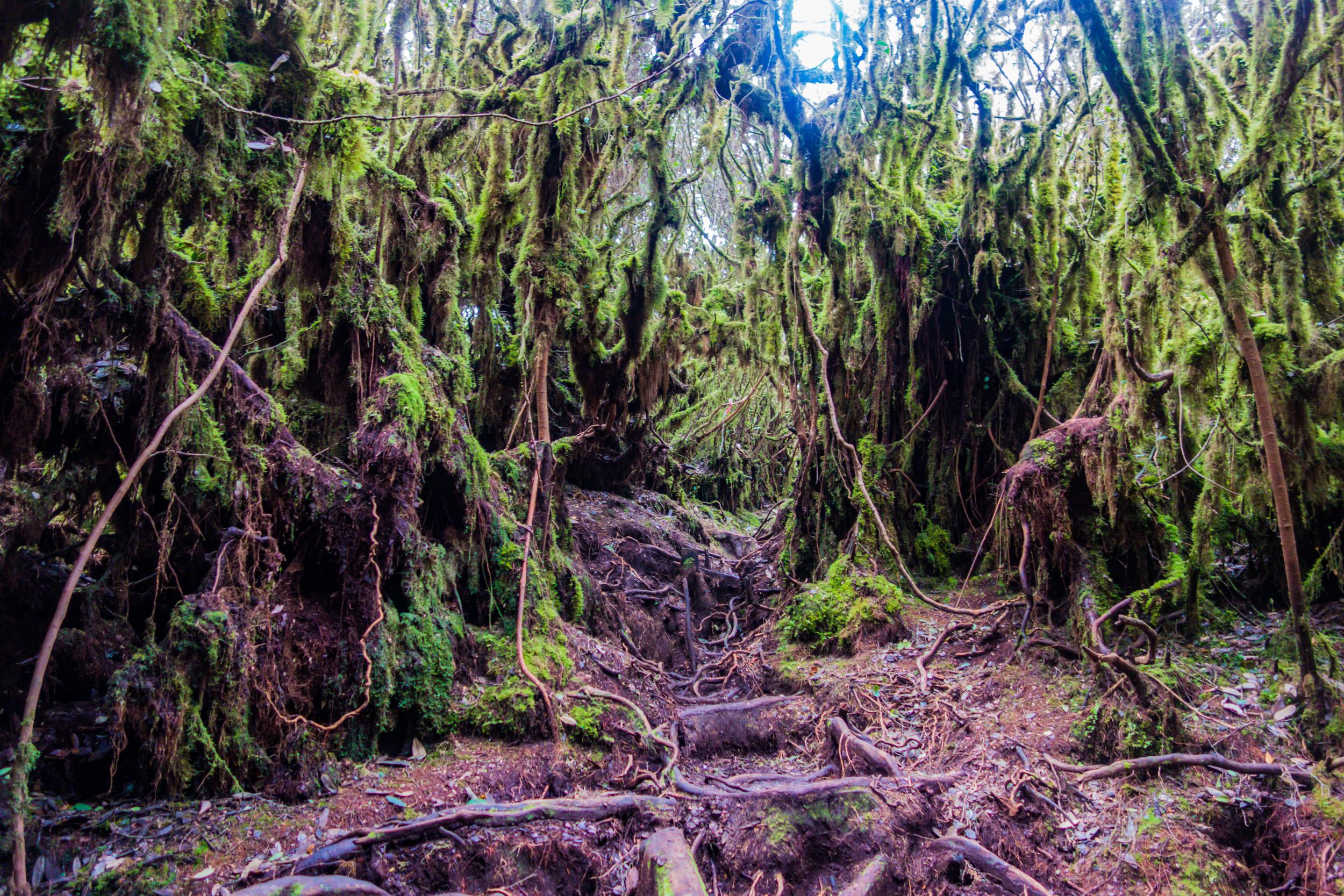 File:Gunung Irau (The Mossy Forest) (25582962393).jpg - Wikimedia ...