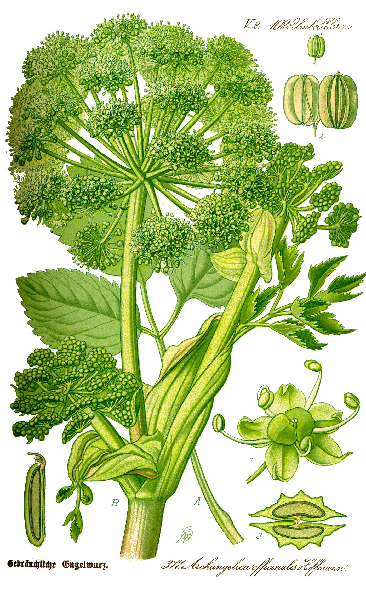 Illustration Angelica archangelica