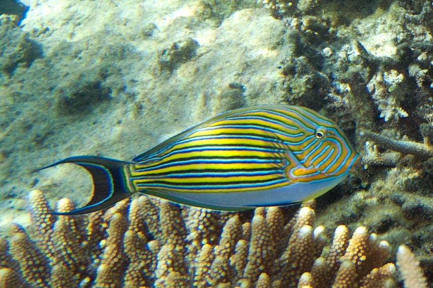 Aquarium de 840 litres recifal, les différentes étapes d'installation Lined_surgeonfish_Acanthurus_lineatus_(7594109988)