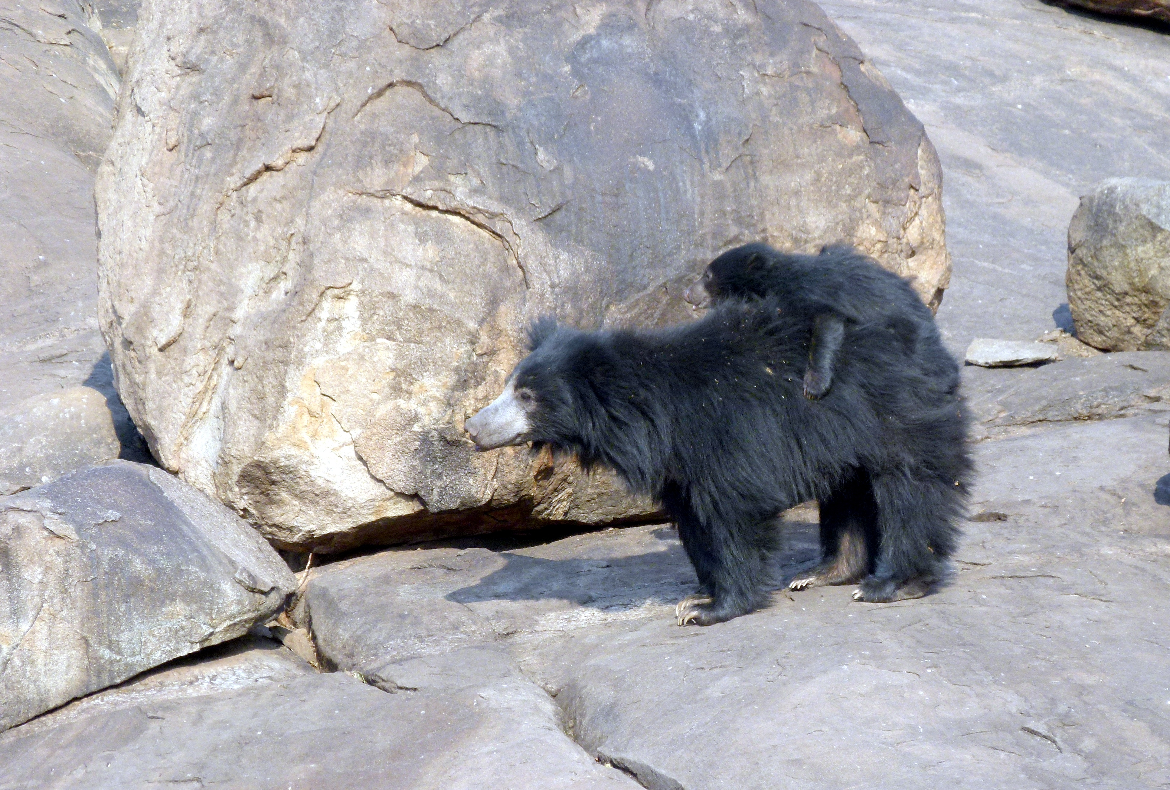 Sloth bear with its cub