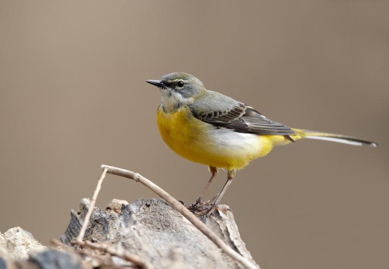 File motacilla cinerea vogelartinfo chris romeiks chr4182
