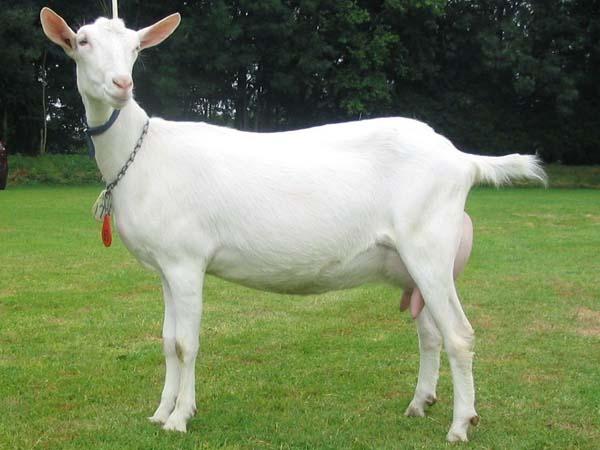 Nederlandse witte geit.jpg