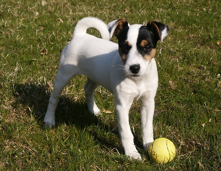 El Parson russell terrier se originó gracias a un pastor inglés llamado John (Jack) Russell
