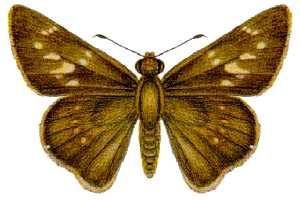 <i>Pelopidas lyelli</i> species of insect