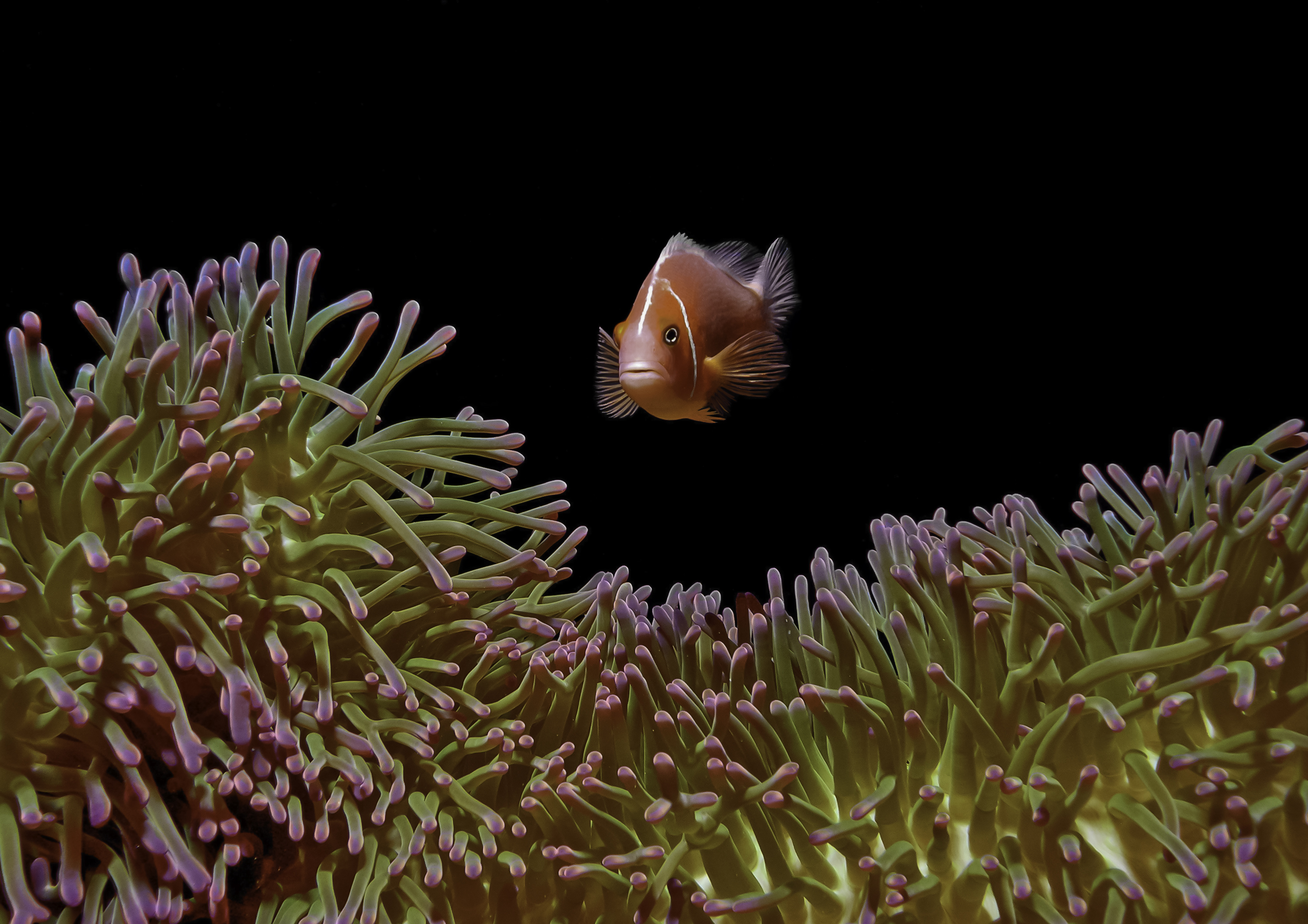 A. perideraion (Pink anemonefish) Yap, Micronesia