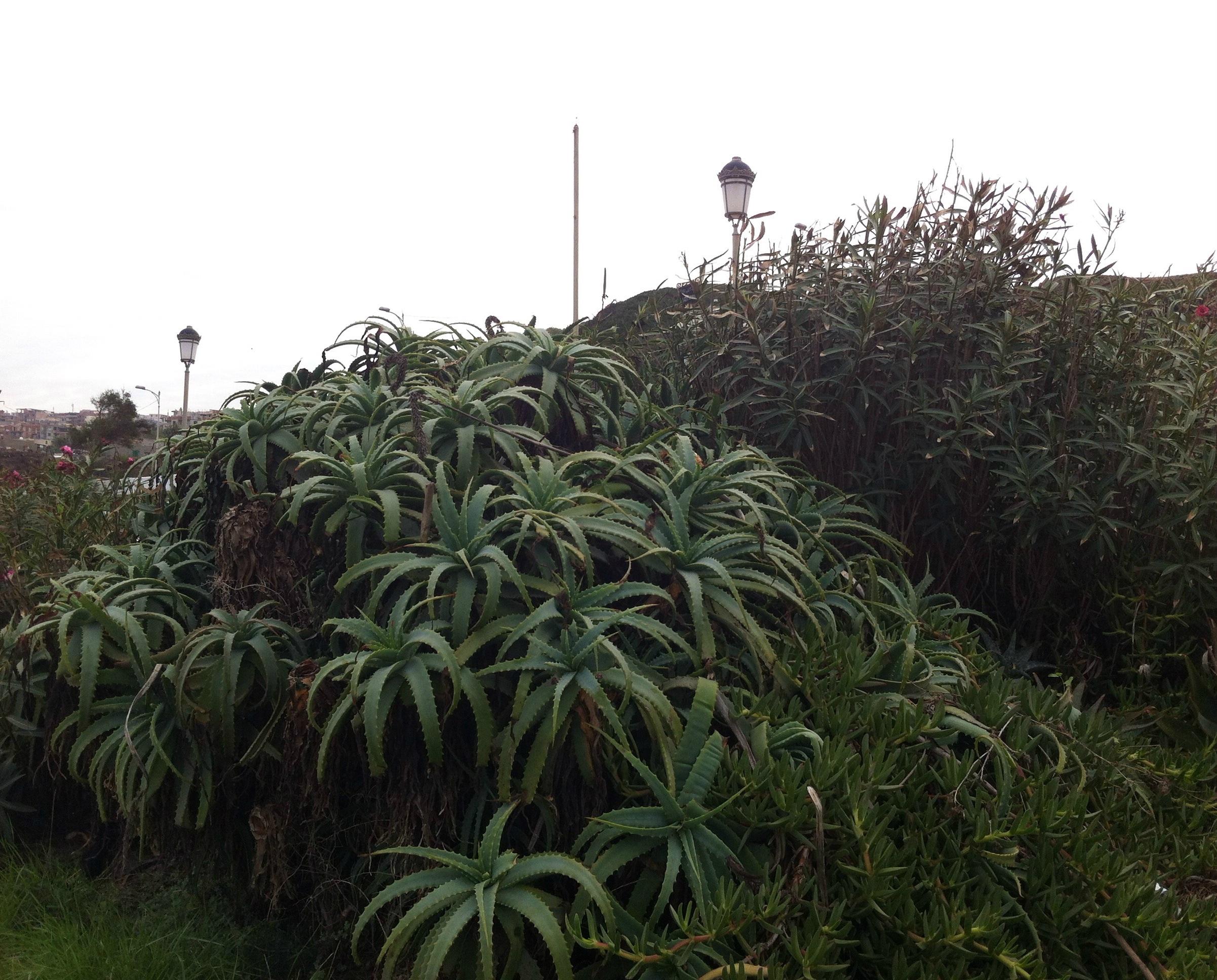 Image Plante Aloe Vera file:plante aloe vera -aïn benian - panoramio