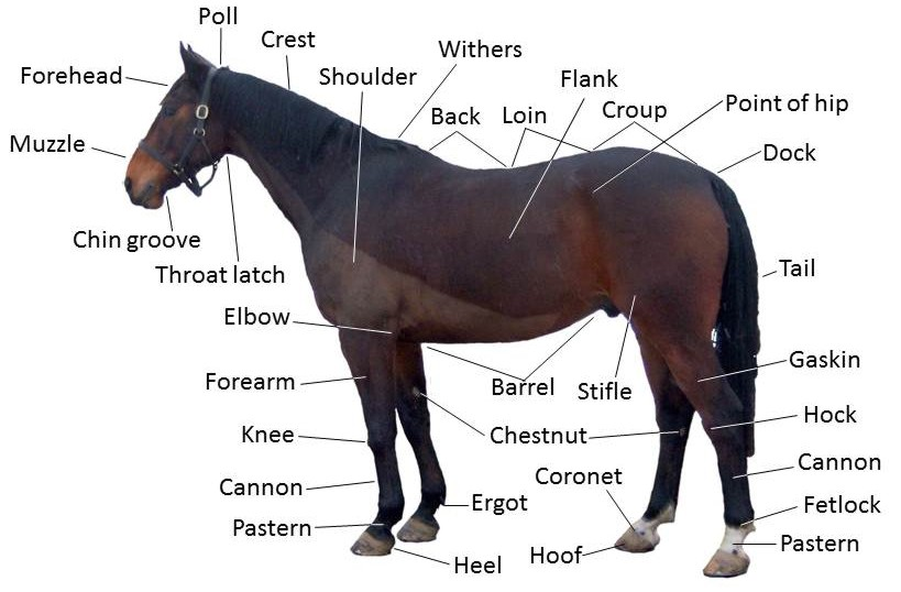 Points_of_a_horse equine anatomy wikipedia
