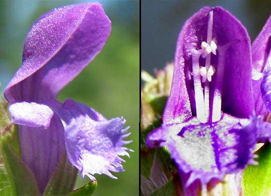 VƯỜN CÂY ĐV IIB - Page 2 Prunella_vulgaris-flowers