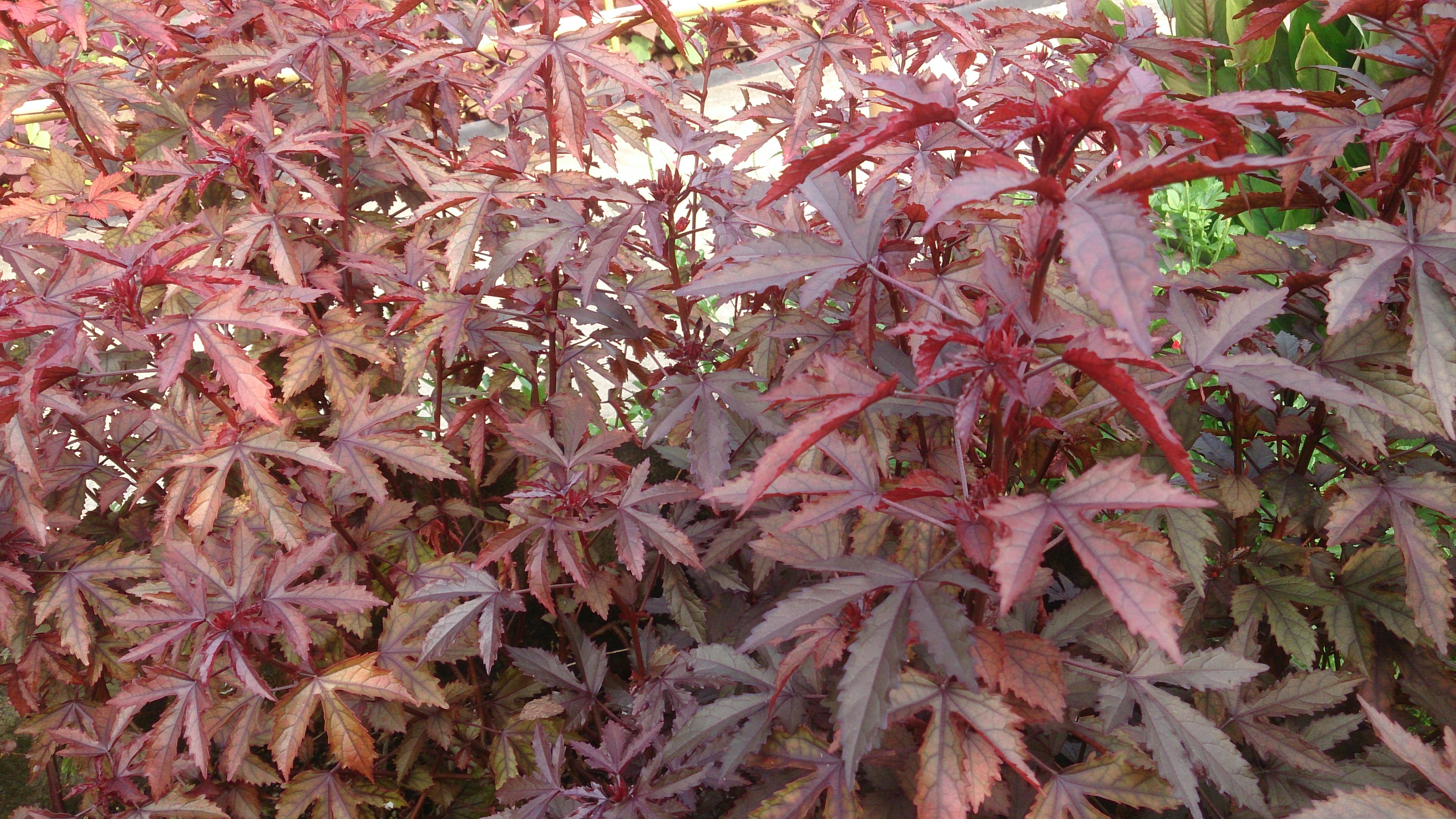 File:Red-Leaf Hibiscus (Hibiscus acetosella).jpg ...