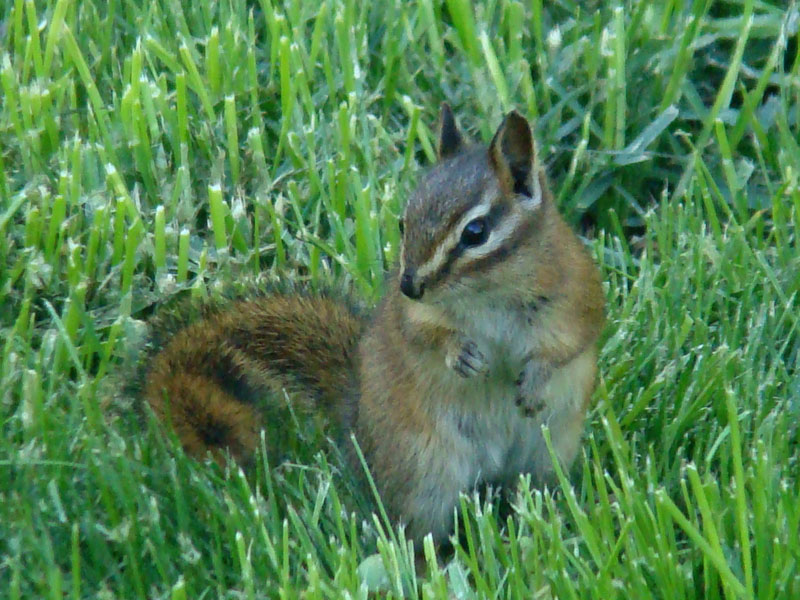 The average litter size of a Red-tailed chipmunk is 4