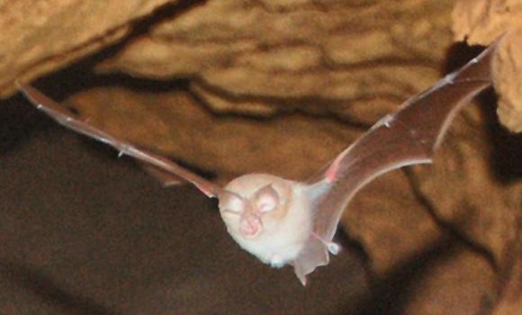 The average litter size of a Mediterranean horseshoe bat is 1