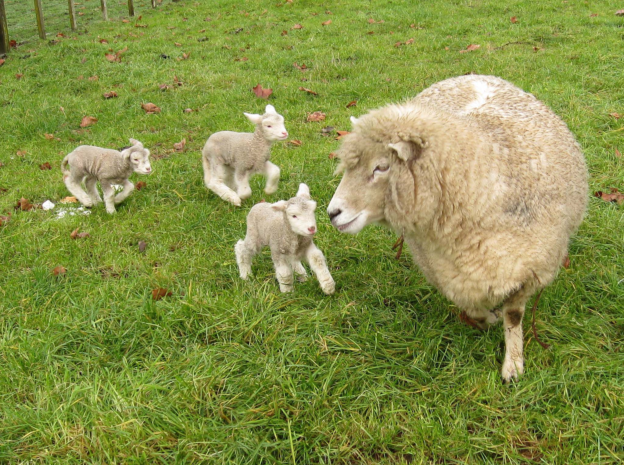Description Romney sheep, ewe with triplet lambs in New Zealand.jpg