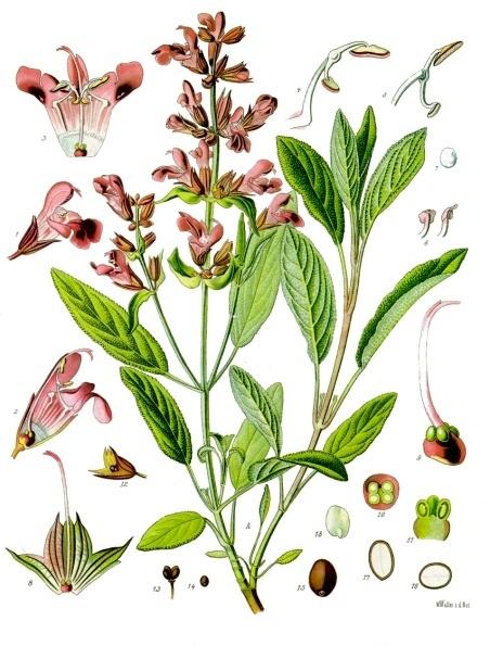 http://upload.wikimedia.org/wikipedia/commons/8/85/Salvia_officinalis_-_K%C3%B6hler%E2%80%93s_Medizinal-Pflanzen-126.jpg