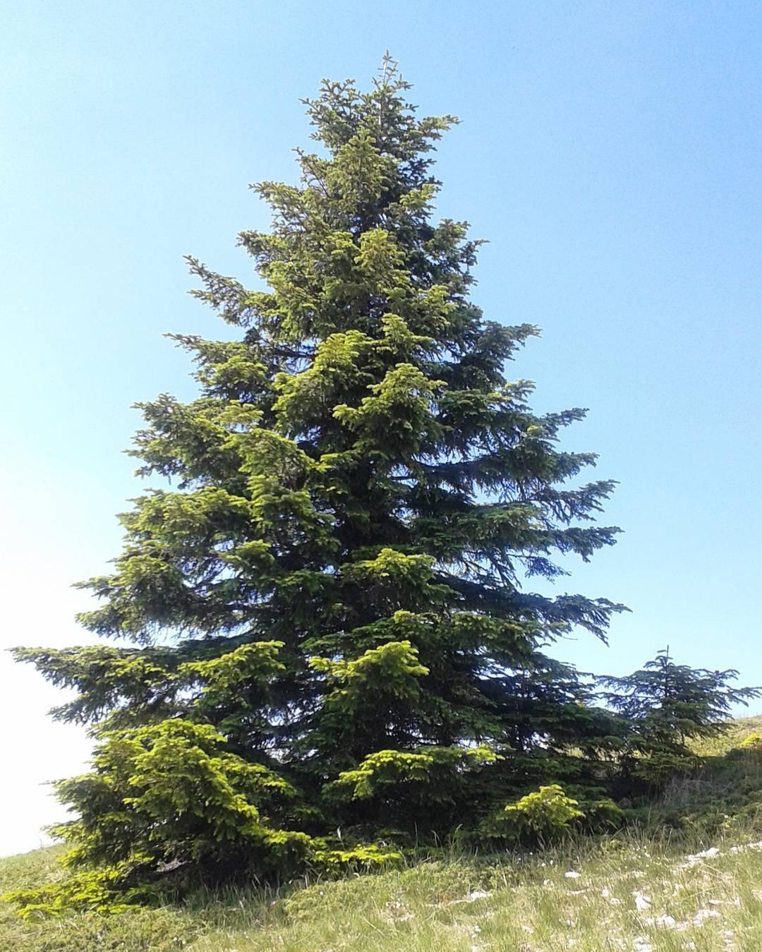Abies alba - Wikipedia, la enciclopedia libre