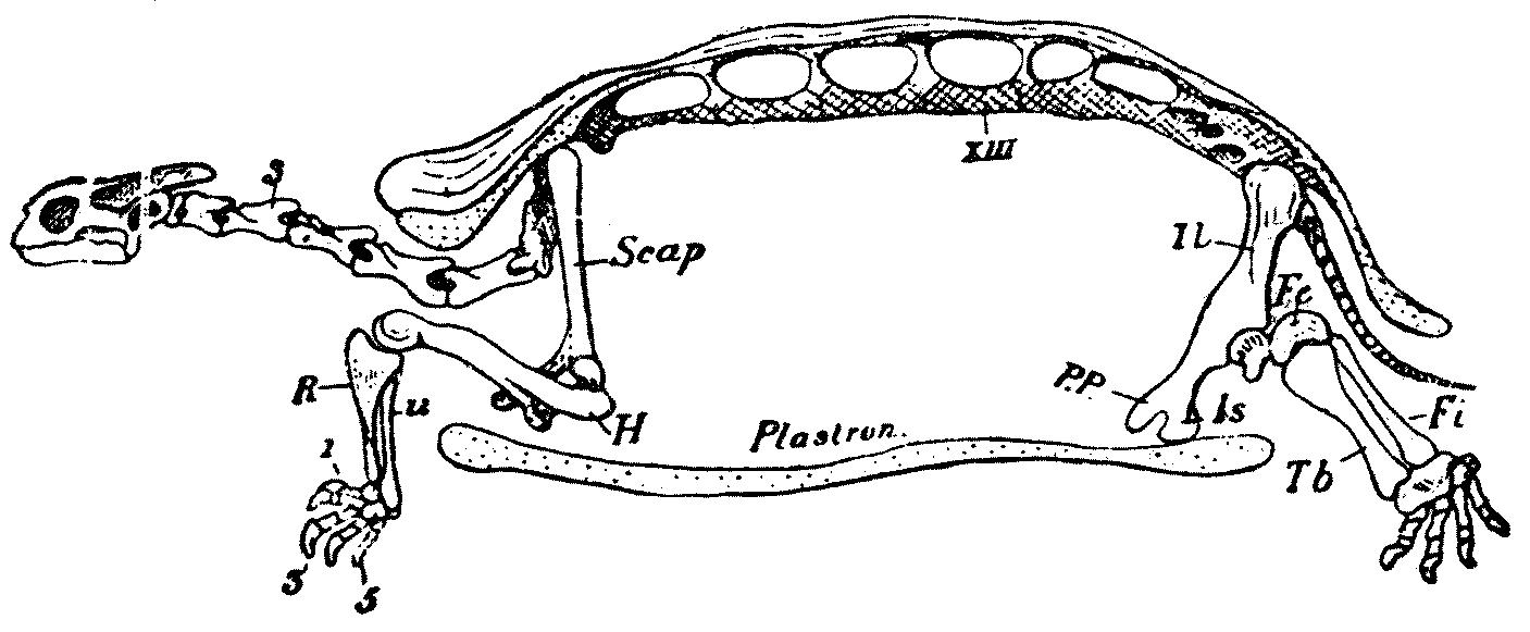 Filesmithtestudoskeletong Wikimedia Commons
